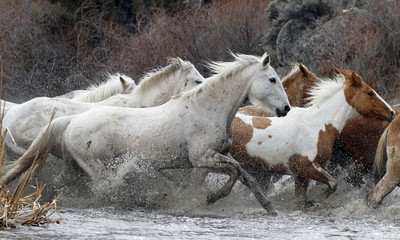 Approximately 350 horses cross a creek as they are gathered during Montana Horses' spring drive outside Three Forks, Montana