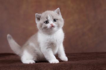 Niedlicher BKH Babykater Kitten in bicolor lilac white