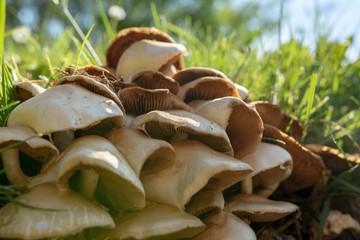 Pilze in der Natur bei Sonnenlicht vor dem pflücken