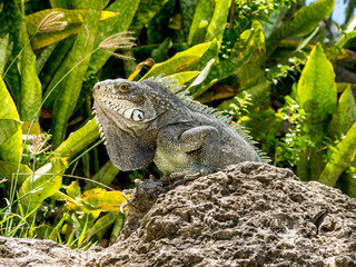 Iguane prenant le soleil sur un rocher en fond de verdure