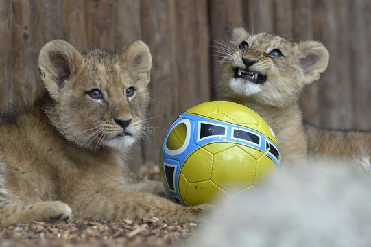 Two fourteen-week old Barbary lions (Panthera leo leo), a male named Ramzes and a female named Zara, play with a ball after a name ceremony at the Bojnice Zoo