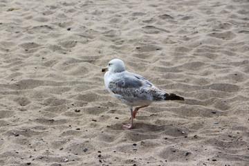 Seemöwe am Strand