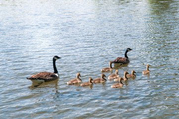 Gosling, baby geese with Parents. Canada Goose, Branta canadensis