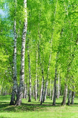 Birch grove, bright green leaves in summer