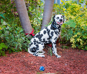 Dalmatian and Blue Ball at Park