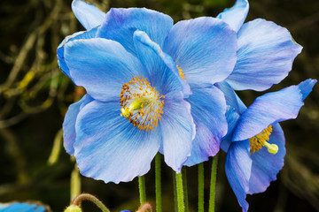 Photo sur Toile Poppy Large flowers of Meconopsis Himalayan blue poppy close-up.