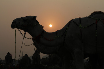 A camel is seen for sale at a livestock market as sun rises in the outskirts of Lahore