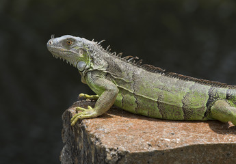 Green and black iguana with gold eye resting on an orange concrete slab against a dark water background.