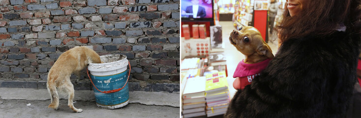A combination photograph shows a dog rummaging for food in a garbage can at a residential area for migrant workers and a woman wearing a fur coat holding her pet dog at a book store inside an airport  in Beijing