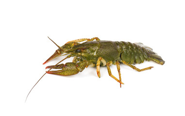 River live crayfish isolated on white background