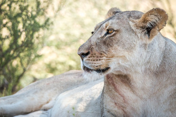 Side profile of a Lioness in Kgalagadi.