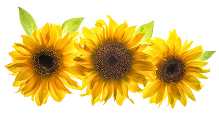 Sunflower head isolated white background flower
