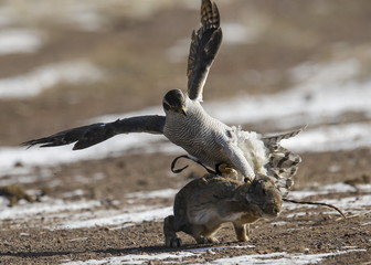 A tamed hawk attacks a rabbit during the traditional hunting contest outside the village of Nura, east from Almaty, Kazakhstan