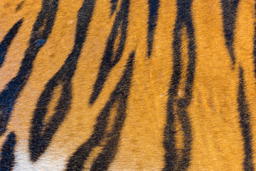 Tiger Fur, Tiger Leather