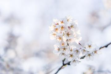 Japanese cherry blossom trees in the morning light. Spring sunrise in High Park