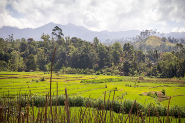 Landscape of rice fields, mountains, palm trees and bamboo in the highlands around Nuwara Eliya and Ella, Sri Lanka.