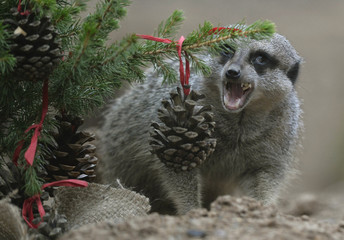 A meerkat eats a treat from a pinecone bauble off a Christmas tree in its enclosure at London Zoo