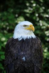 sea american eagle