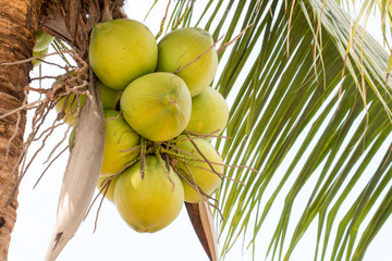 green coconut have sweet water and make dessert