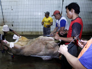 Workers sharpen their knives as they prepare to carve up a cow at Cakung slaughterhouse in Jakarta