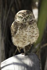 Photo of burrowing owl