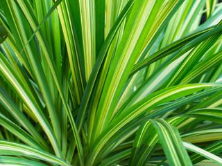 Yellow Green Pandanus veitchii Leaves