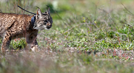 An Iberian lynx, a feline in danger of extinction, is seen after being released in Donana National Park, southern Spain