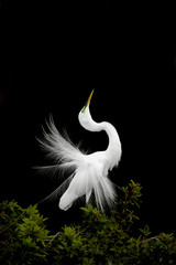 Great egret (Ardea alba) courtship display. Venice roockery, Florida, USA.