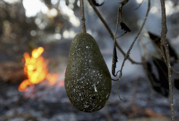 An avocado fruit is seen as trees burn in the background in an avocado grove outside Fallbrook, California