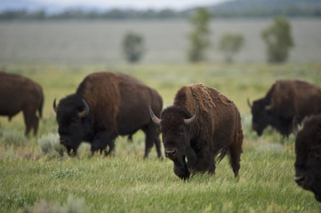 American Bison (Bison bison)  Grand Teton NP, Wyoming