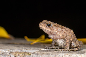 Small brown Asian common Toad (Chordata: Amphibia: Anura: Bufonidae: Duttaphrynus melanostictus) with bumpy skin, sit down and stay still on the ground during the night isolated with dark background