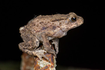 Small brown Asian common Toad (Anura: Bufonidae: Duttaphrynus melanostictus) with bumpy skin, sit down and stay still on a rusty steel rod during the night isolated with black dark background