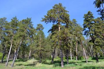 Сосновый лес на склоне холма
