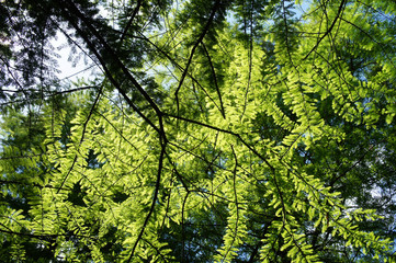Abies alba fir branches and foliage in sunligh