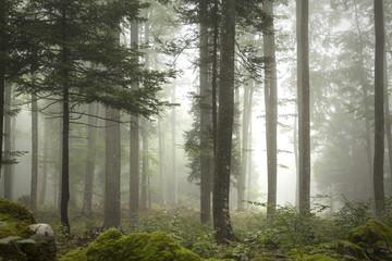 Piękny las we mgle