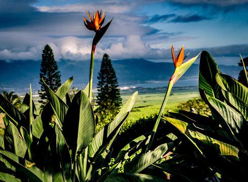 Crane flowers growing against pine trees during sunrise