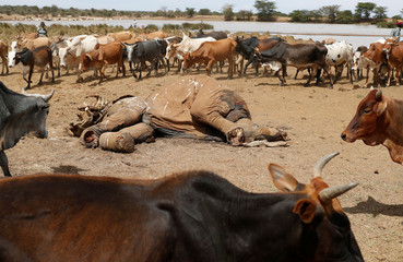 Cows belonging to Samburu tribesmen walk around the carcass of an elephant killed by armed cattle herders in Mugui Conservancy
