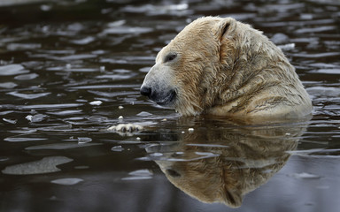Walker a seven year old polar bear plays in an icy pond at the RZSS Highland Wildlife Park in Kincraig, Kingussie, Scotland