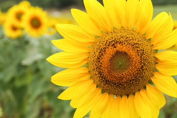 Sunflower by setting sun (Helianthus annuus) in the farm