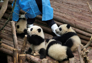 Baby giant pandas hold a breeder's leg at Chengdu Research Base of Giant Panda Breeding in Chengdu