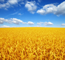 Wall Mural - wheat field and sky