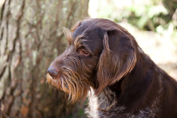 portrait of a dog breed drathaar in nature