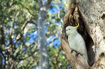 Australian Sulfur-crested Cockatoo, Cacatua galerita, perched in a hollow in a Broad Leaved Paperbark tree, Melaleuca quinquenervia, in Centennial Park, Sydney, Australia