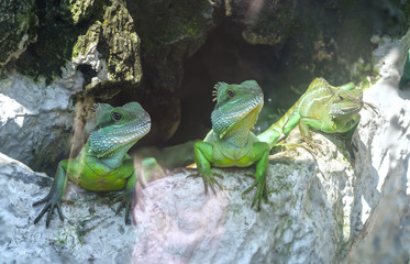 Lizard families together is looking to the future so cute when watching them in zoo