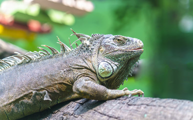 Giant iguana with its large body is full of scaly dinosaur survivor and preserved in the zoo to this day.