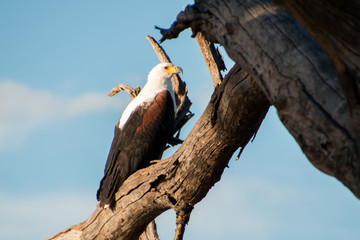 African Fish Eagle sitting in tree with blue background