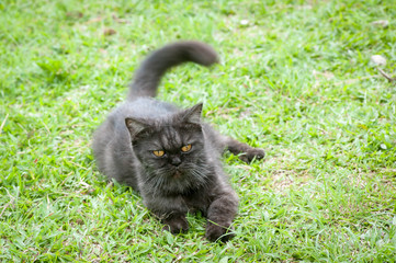 Black Cat Playing in the grass