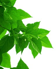 Mulberry or Morus Leaves on White Background