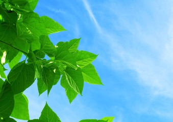 Mulberry or Morus Leaves on The Sky