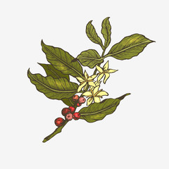 Coffee tree illustration.